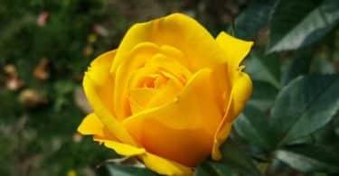 ما هو معنى الوردة الصفراء