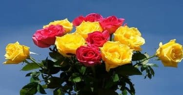 ما هي أجمل الورود في العالم