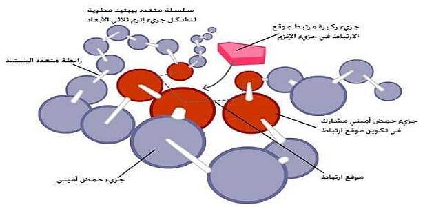 ما هي الأنزيمات وما هي وظائفها