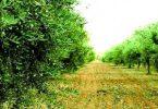 ما هي خصائص شجرة الزيتون