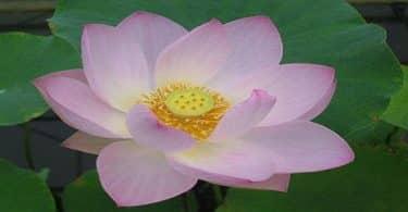 ما هي صفات زهرة اللوتس