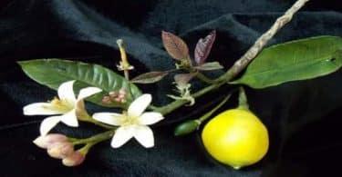 ما هي فوائد زهر الليمون