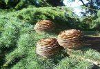 ما هي فوائد شجرة الأرز