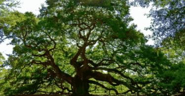 أنواع أشجار الزينة واسمائها