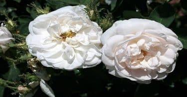 أجمل انواع الورد الأبيض