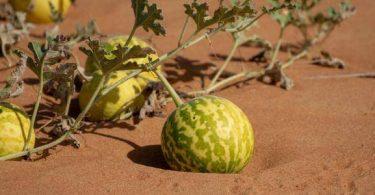 فوائد بذور نبات الحنظل
