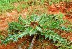 فوائد بذور نبات العكوب