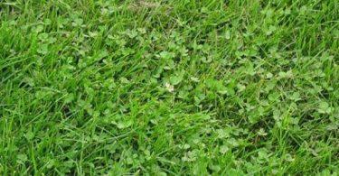 فوائد عشبة المريوت وأضرارها