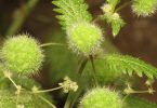 فوائد نبات القراص الصحية