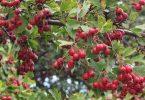 فوائد واضرار نبات الزعرور