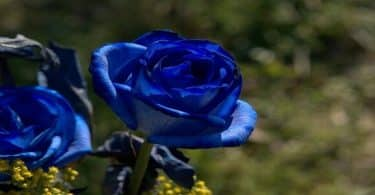 ما معنى الوردة الزرقاء