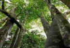 ما هو الموطن الأصلي لشجرة العود