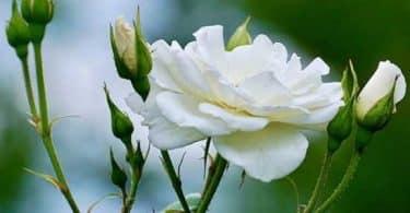 ما هو معنى الوردة البيضاء