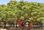 ما هي شجرة القيقب