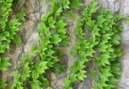 ما هي فوائد نبات اللبلاب