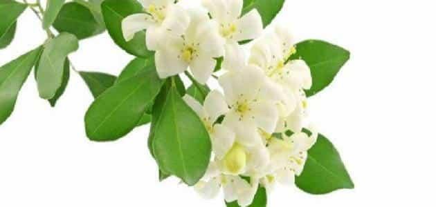 معلومات عن زراعة زهرة الياسمين
