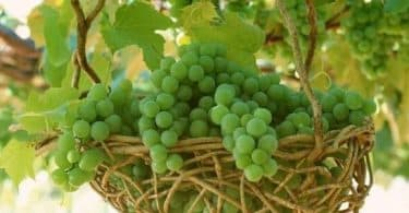 اكل العنب الأخضر في المنام