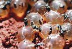 فوائد واضرار بيض النمل