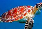 لماذا تهاجر السلاحف البحرية وأنواعها
