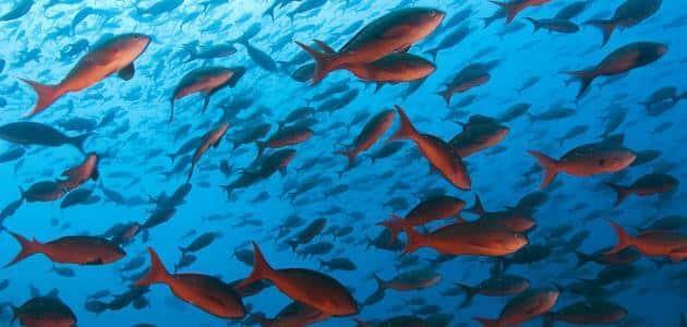 أنواع الأسماك في مصر بالصور