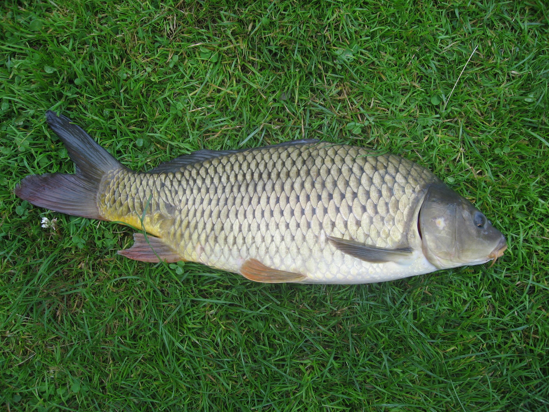 أنواع الأسماك في مصر