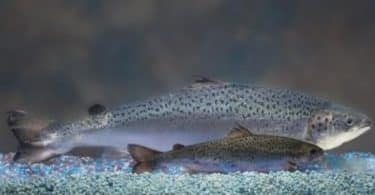 أين يعيش سمك السلمون وما فوائده