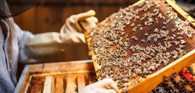 تربية النحل واهميته