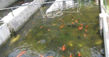تفريخ الأسماك الزينة