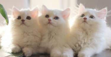 تفسير حلم القطة البيضاء في المنام