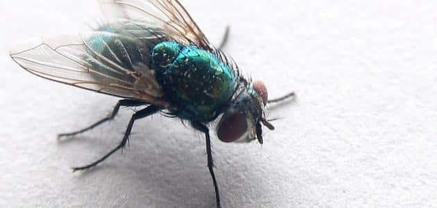 سبب وجود الذباب الازرق في البيت
