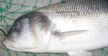 شكل سمك القاروص بالصور