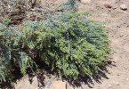 فوائد نبات الطيون
