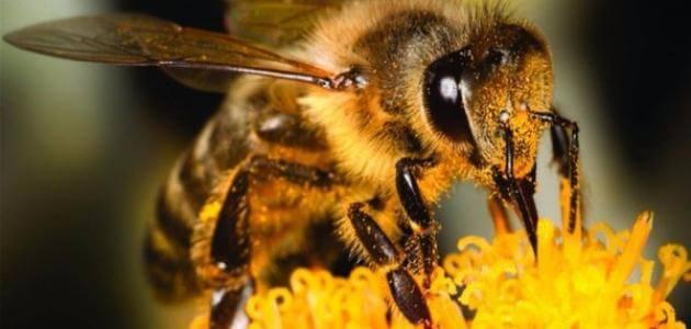 كم هو عدد عيون النحلة