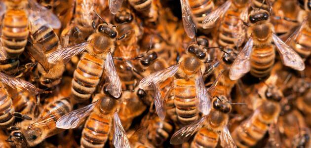 كيفية تربية النحل في اليمن