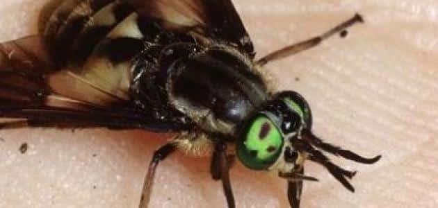 كيف يتنفس الذباب