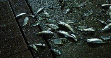 لماذا يموت السمك وكيف
