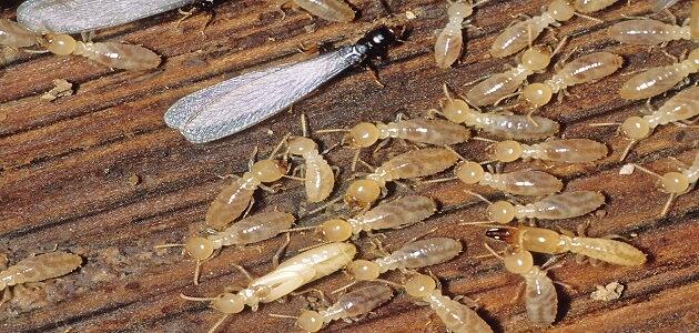 ما هو حشرة الارضة