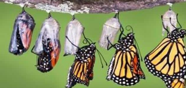 ما هو غذاء الفراشة بالتفصيل