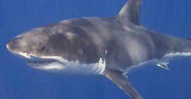 ما هي فوائد سمك القرش