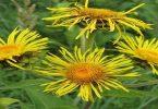 ما هي فوائد عشبة البعيثران ؟ 1