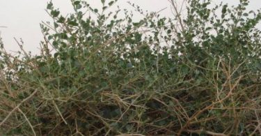 ما هي فوائد عشبة الروحب ؟