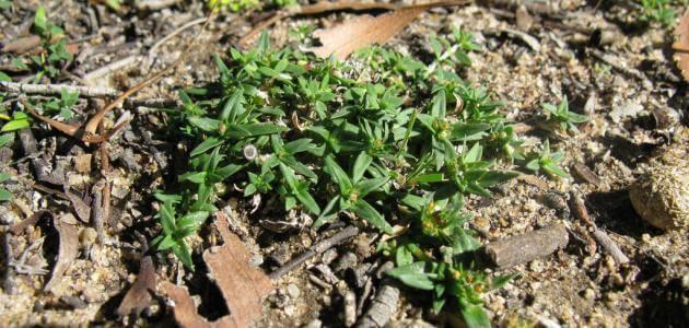 ما هي فوائد عشبة الفوة ؟