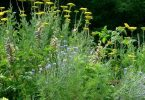 ما هي فوائد عشبة القيصوم ؟