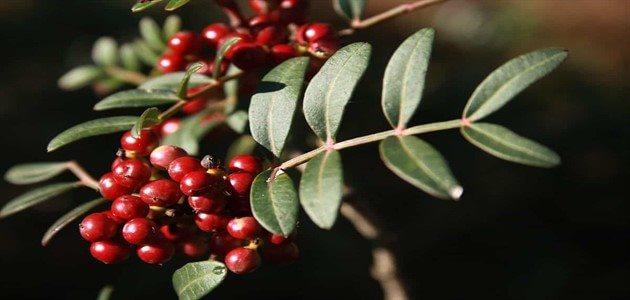 منافع عشبة الضرو