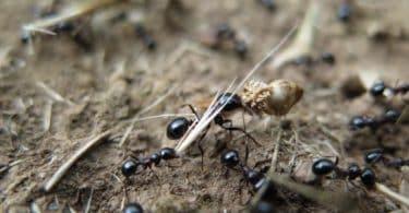 فوائد زيت النمل ومضاره