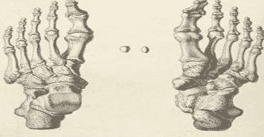 كم عدد عظام رجل الإنسان