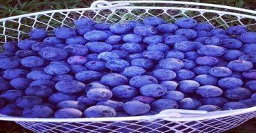 ما هي فوائد التوت الأزرق ؟