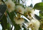 فوائد واضرار شجرة الكينا