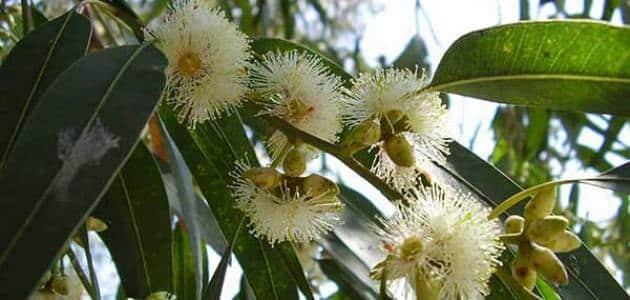 فوائد واضرار شجرة الكينا معلومة ثقافية
