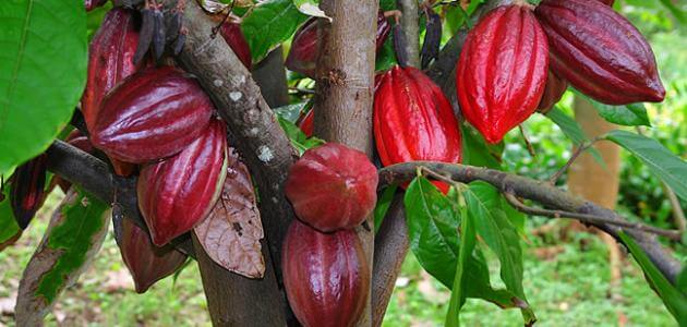 ما هي ثمرة الكاكاو